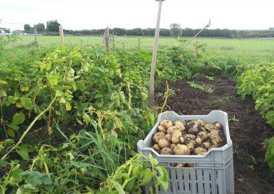 De aardappel oogst